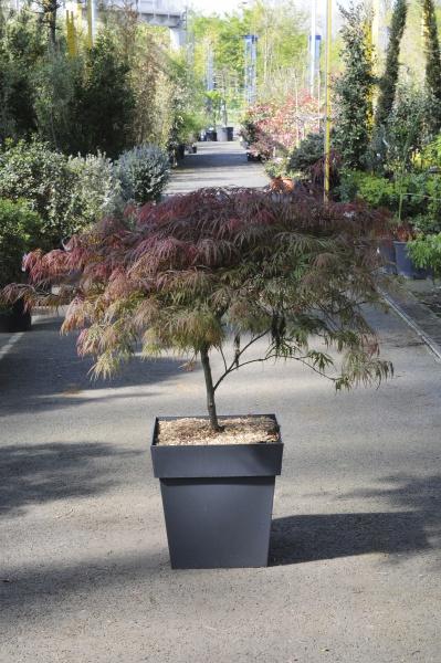 Acer Palmatum Dissectum Inaba Shidare 80cm x 25L
