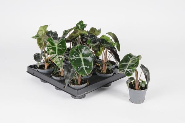 Alocasia Amazonica 20cm x D6