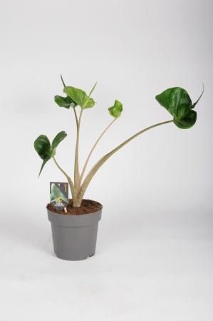 Alocasia Macrorrhiza Stringray 50cm x D17