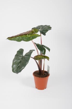 Alocasia Sarawakensis Yucatan Princess 70cm x D19