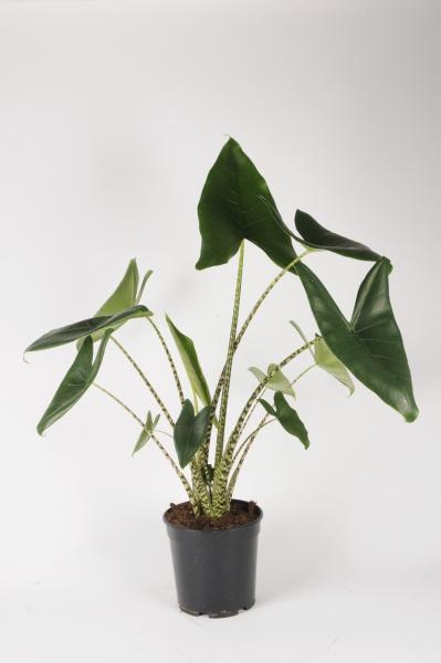 Alocasia Zebrina 90cm x D21