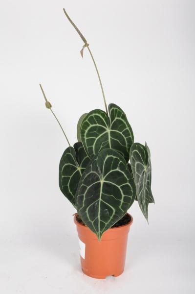 Anthurium Clarinervium 60cm x D17