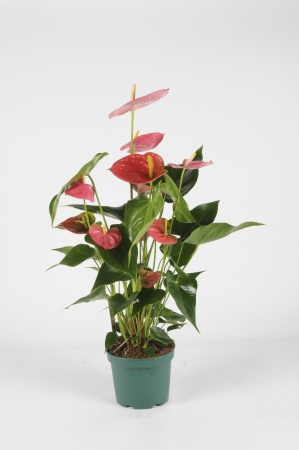 Anthurium Colorado 60cm x D14