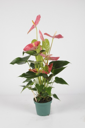Anthurium Colorado 70cm x D17