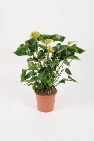 Anthurium Jaguar Green 75cm x D21