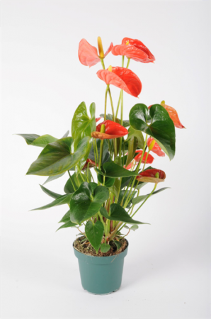 Anthurium Orange 60cm x D14