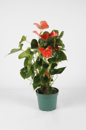 Anthurium Orange 70cm x D17