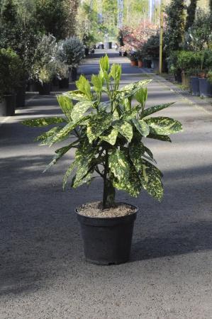 Aucuba Crotonaefolia Japonica 60cm x 7,5L
