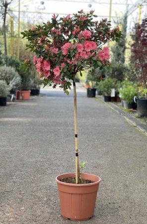 Azalea Japonica Tige 110cm x 7,5L