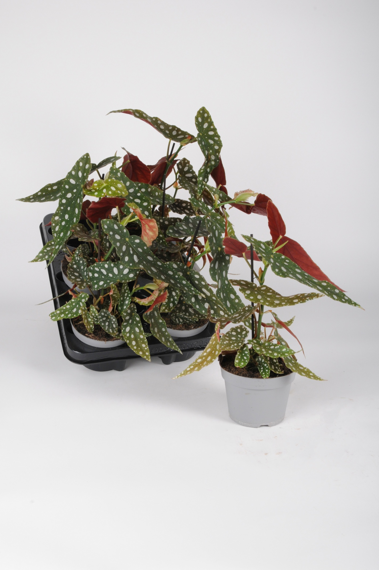 Begonia Maculata 30cm x D12