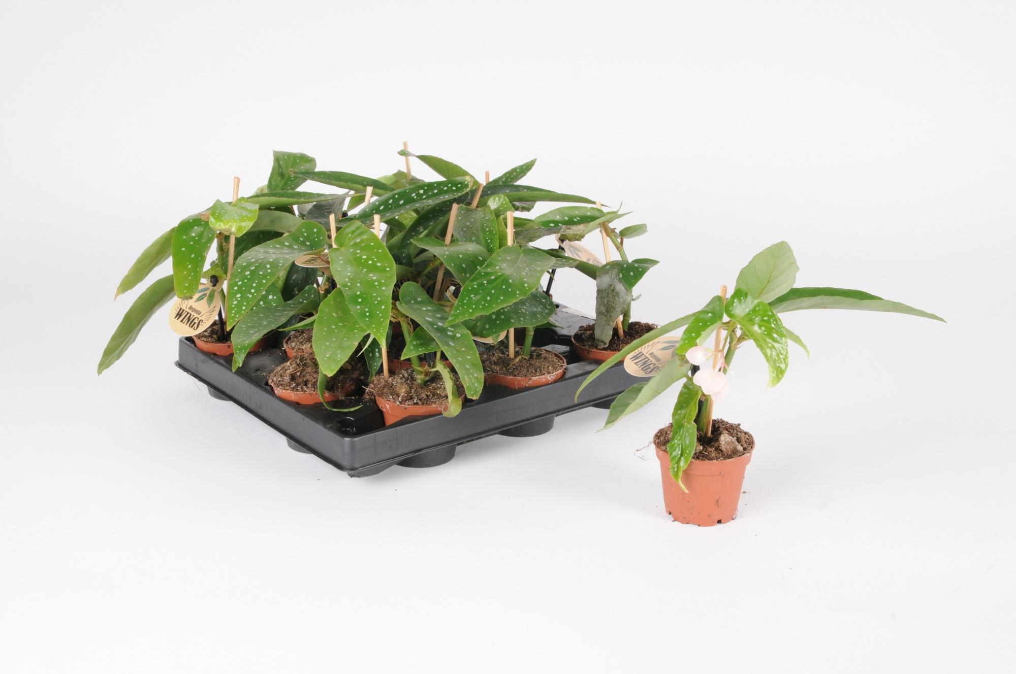 Bégonia Maculata Albopicta 14cm x D6