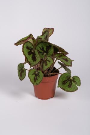 Begonia Masoniana 25cm x D12