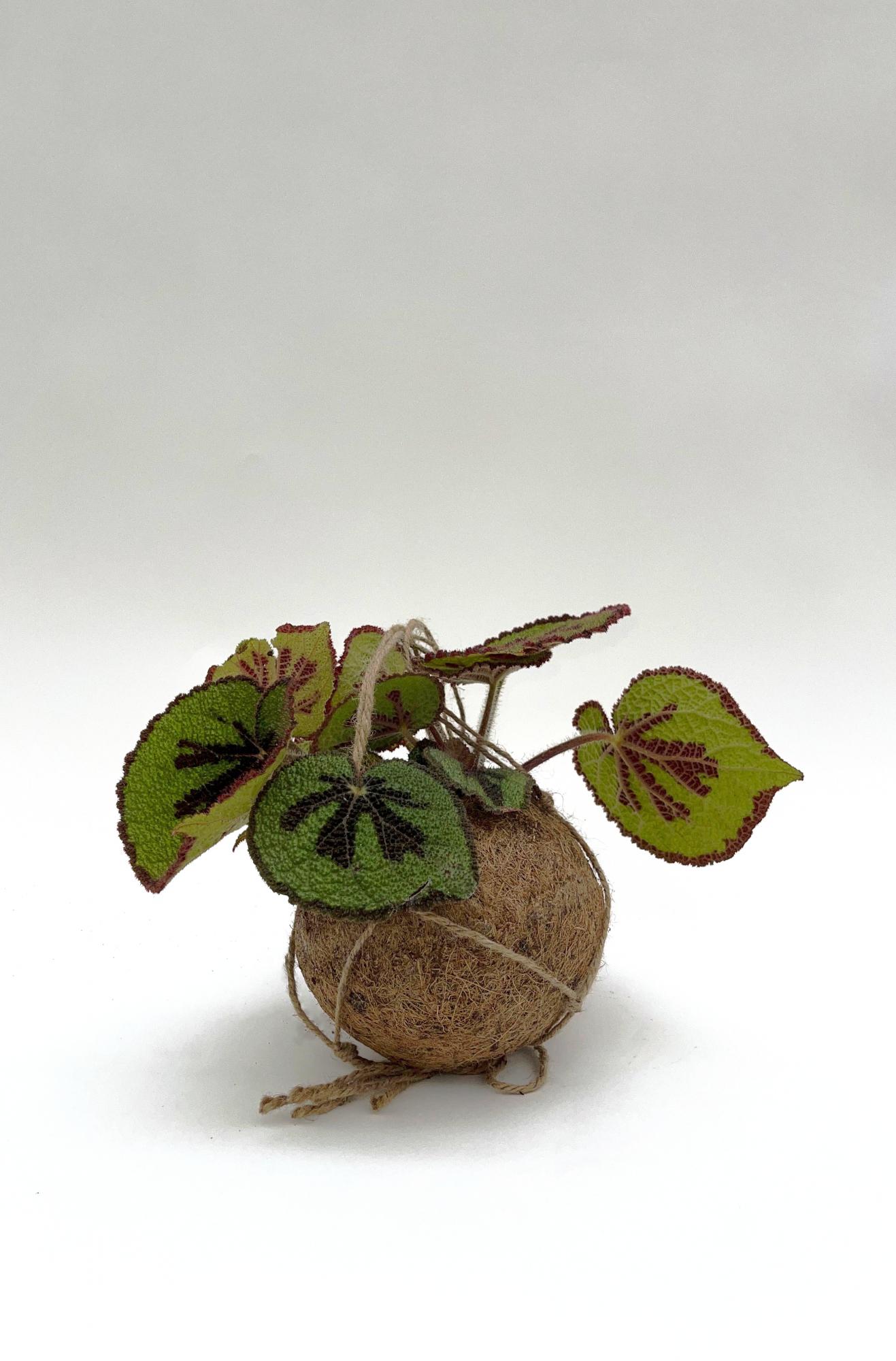 Begonia Masoniana Suspension Kokédama 16cm x D15