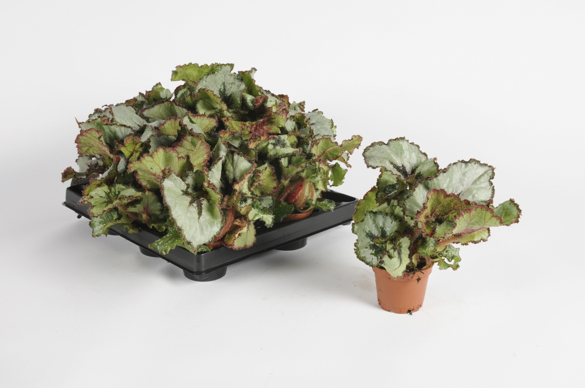 Begonia Rex Dew Drop 14cm x D6