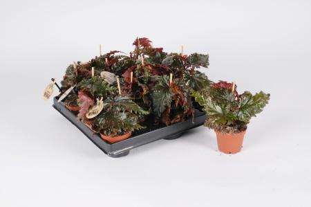 Begonia Rex Mary Brown 20cm x D6