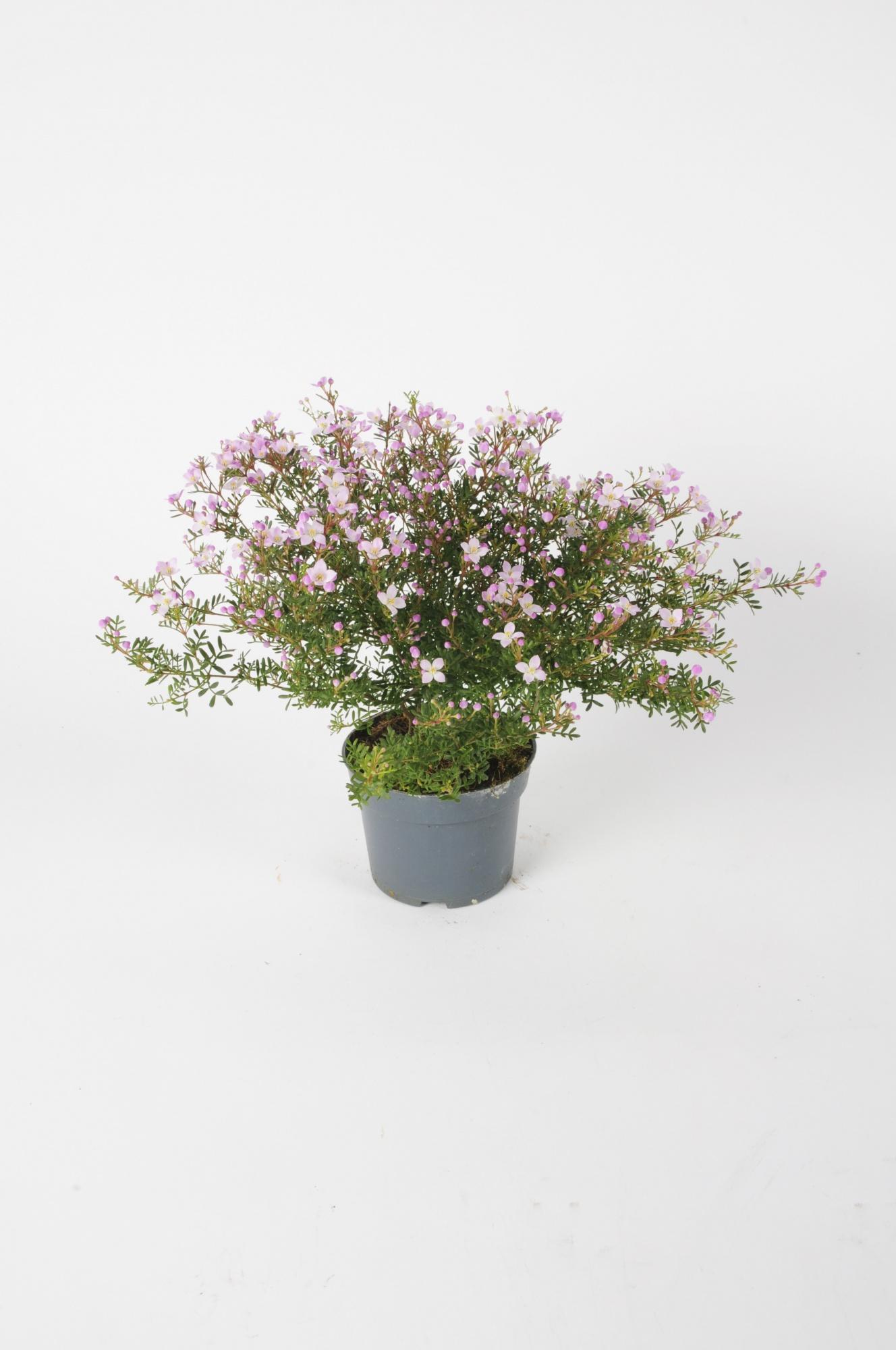 Boronia Anemonifolia 30cm x D12