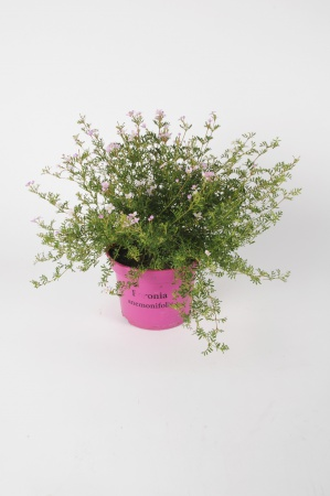 Boronia Anemonifolia 35cm x D17