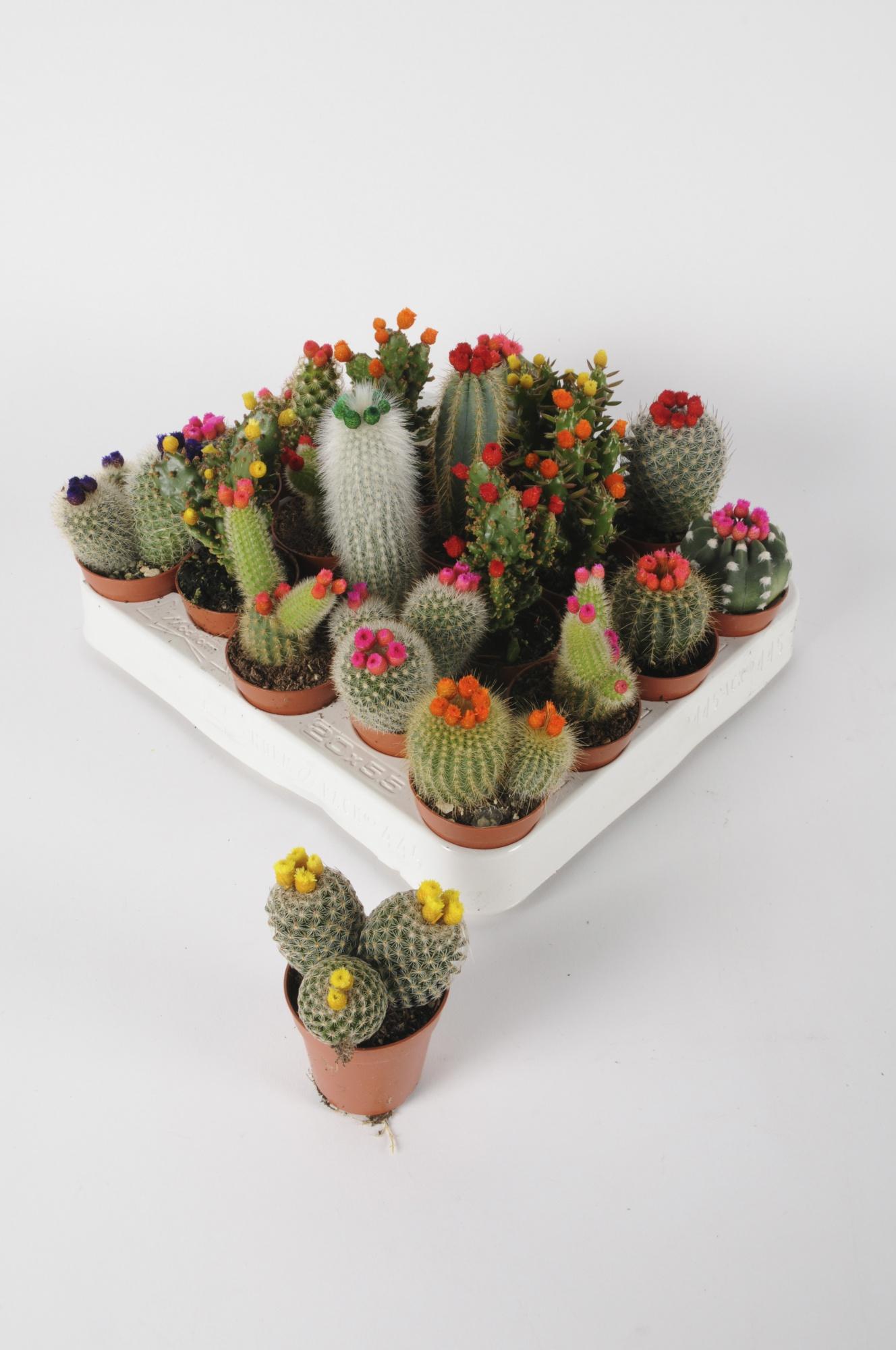 Cactus Fleurs de Paille 20cm x D5,5