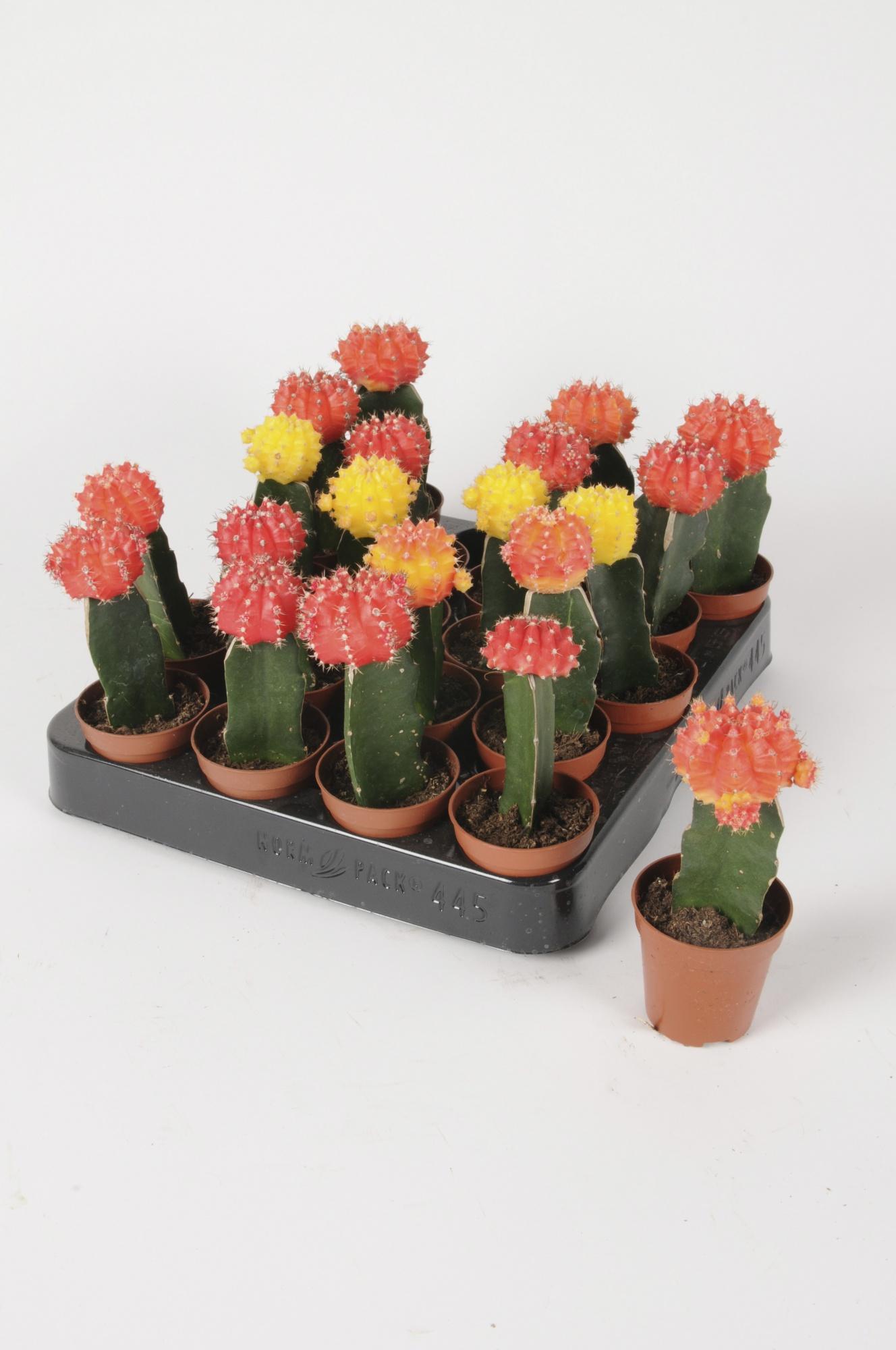 Cactus Greffé 16cm x D5,5