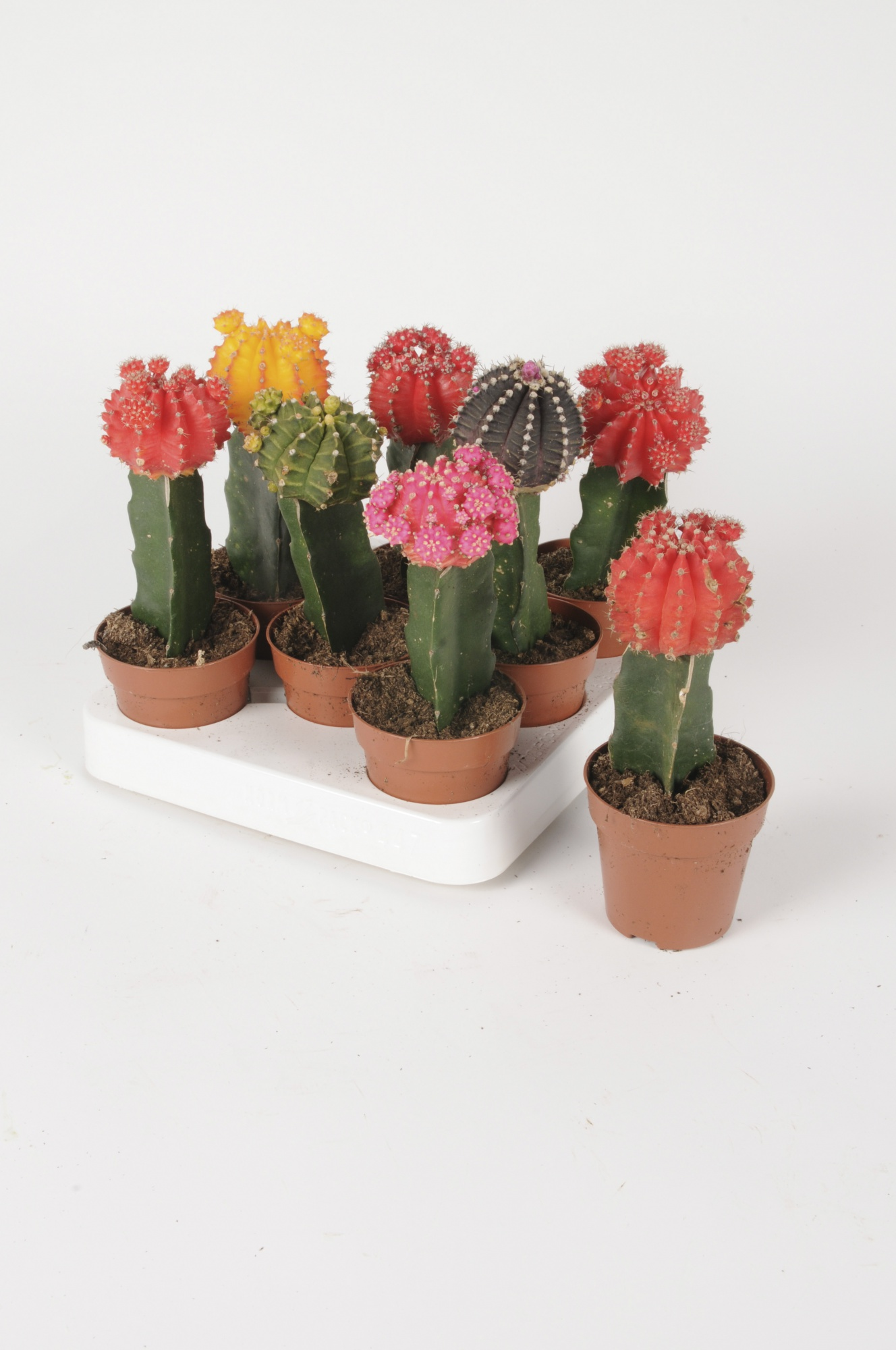 Cactus Greffé 25cm x D8,5