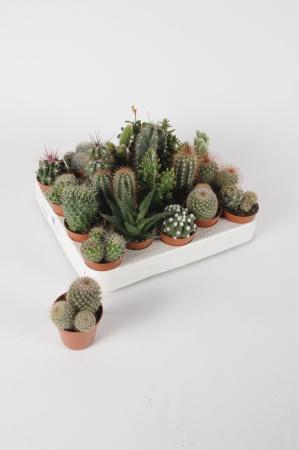 Cactus Mixtes 20cm x D5,5