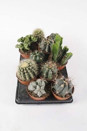 Cactus Mixtes 25cm x D12