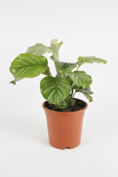 CALATHEA Orbifolia 35cm-D12