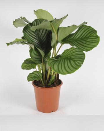 CALATHEA Orbifolia 75cm-D19