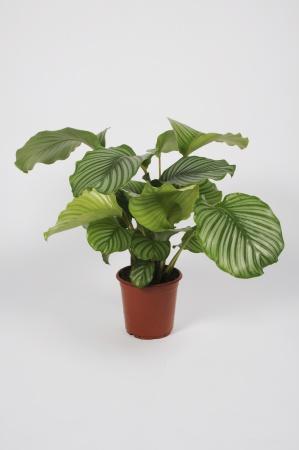 Calathea Orbifolia 75cm x D19