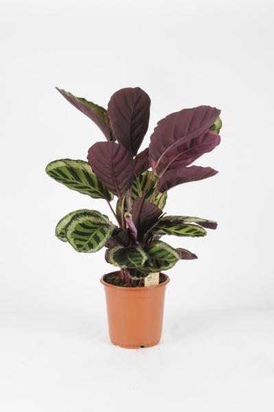 Calathea Rosalina Angel 75cm x D21