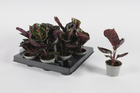 Calathea Roseopicta 14cm-D6
