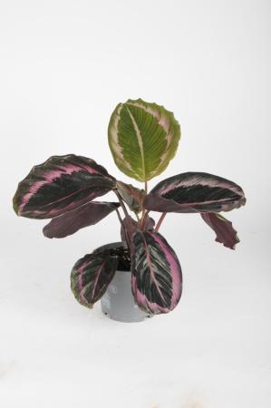 Calathea Roseopicta Dottie 30cm x D12