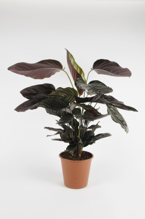 CALATHEA Sanderiana 70cm-D19