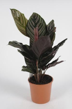 Calathea Sanderiana 70cm x D14