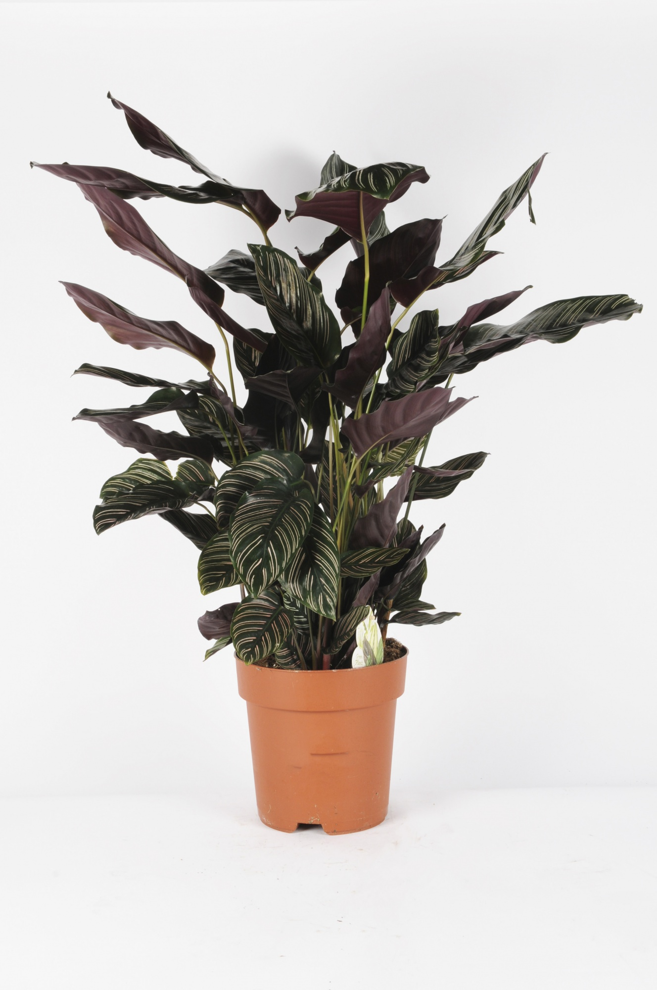 Calathea Sanderiana 80cm x D27