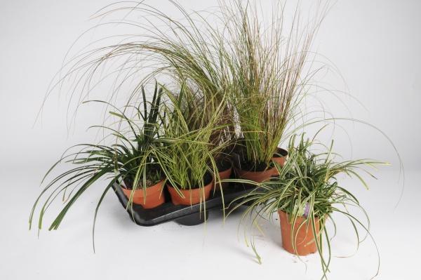 Carex Mixte 70cm x D13