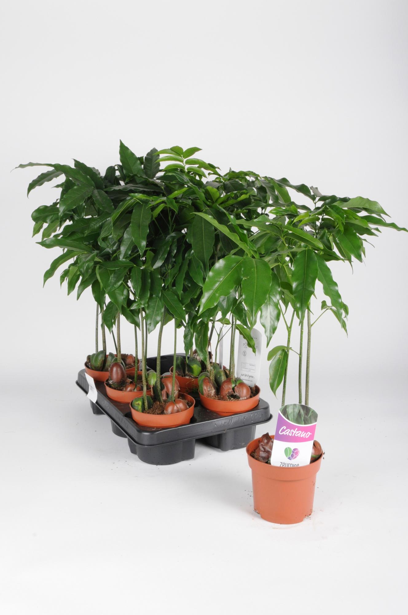 Castanospermum Magnifico 50cm x D12