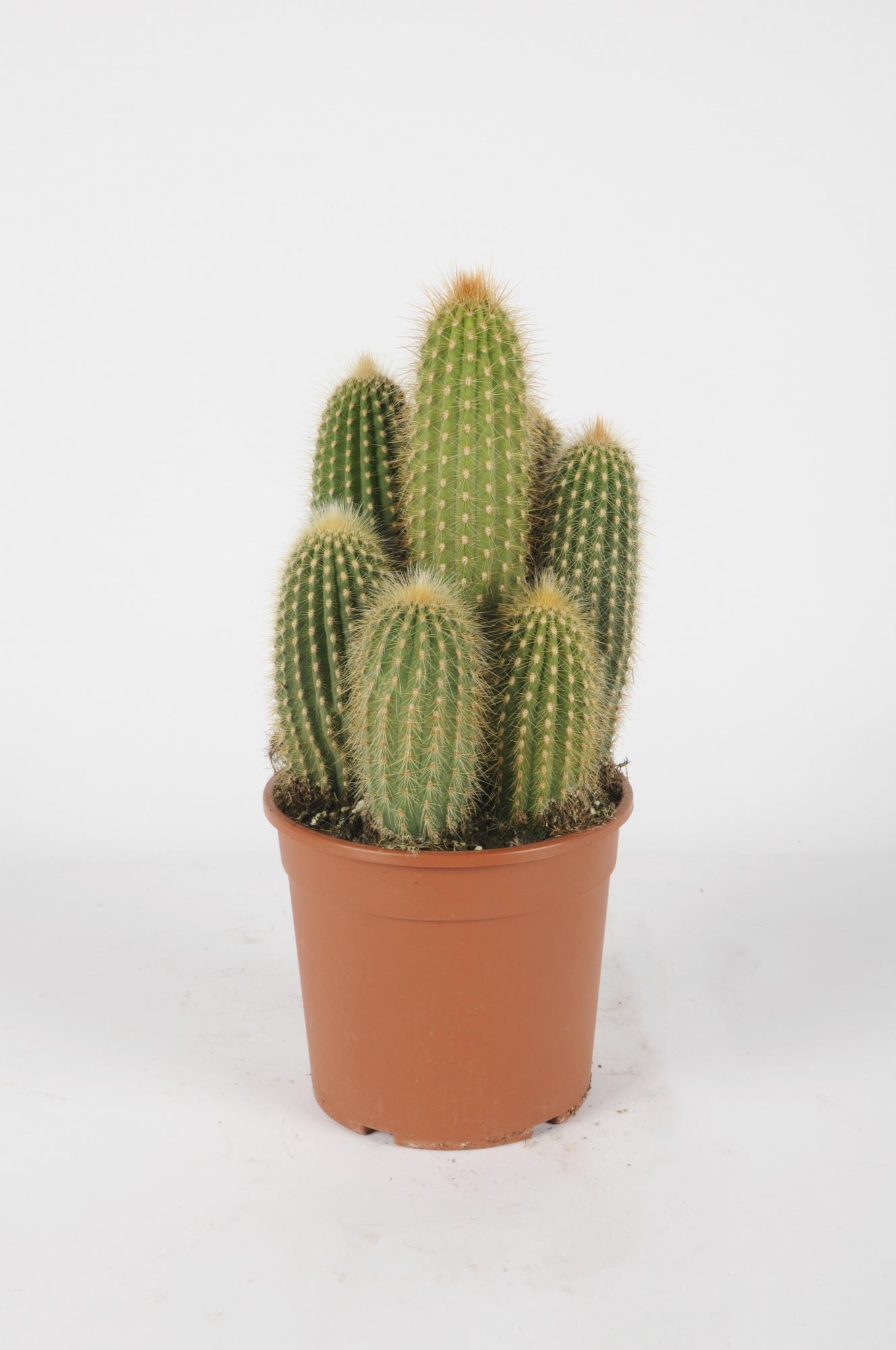 Cereus 40cm x D17