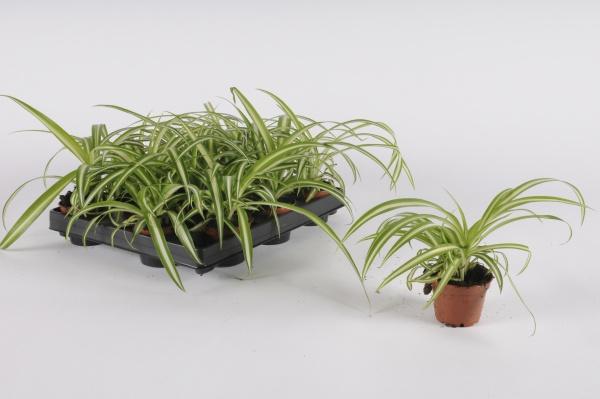 Chlorophytum Comosum 14cm-D6