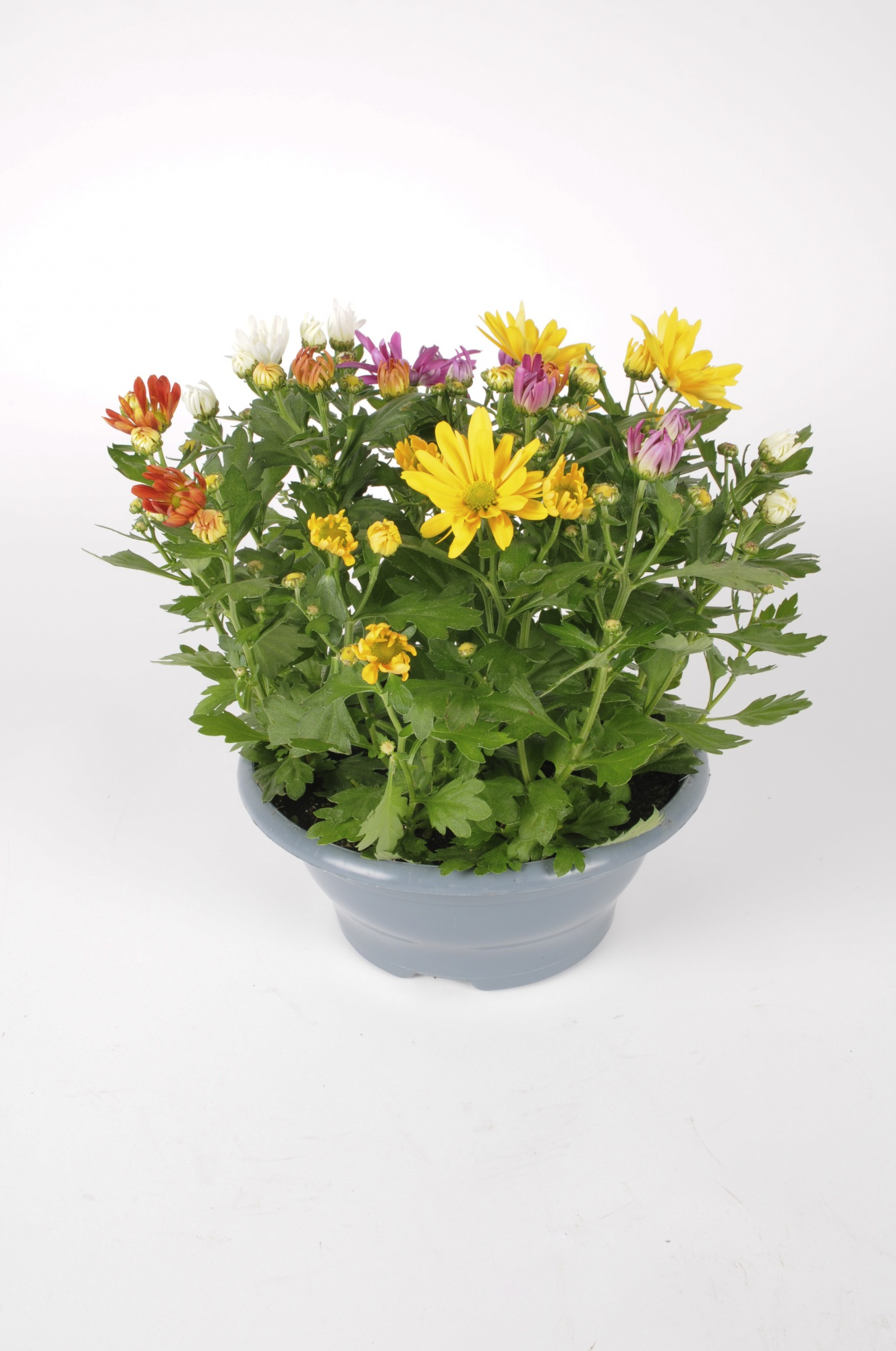 Chrysanthème Multicolore 30cm x D23