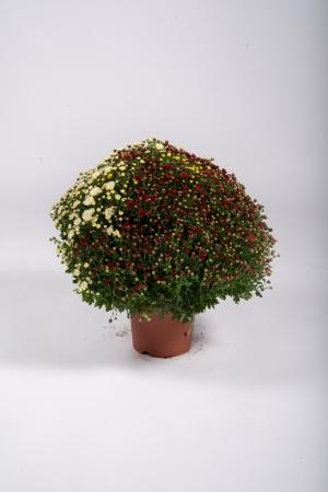 Chrysanthème Pomponnette T3 50cm x D19