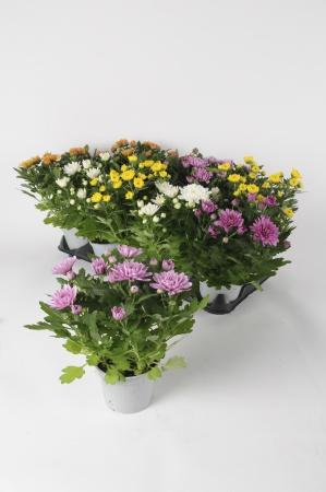 Chrysanthemes Mixtes 32cm x D12