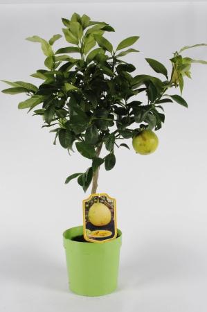 Citrus Bergamotto 70/90cm x D20