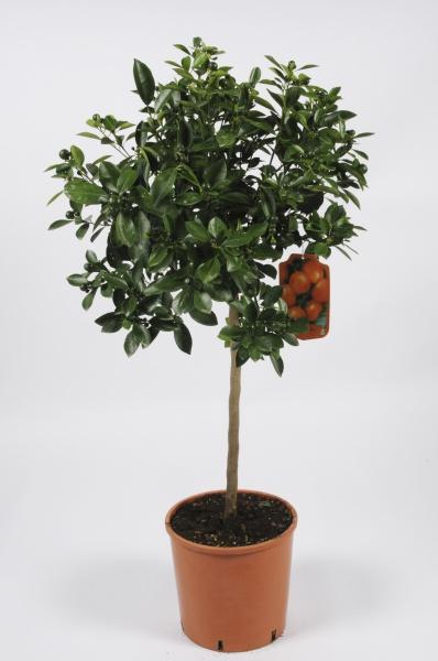 Citrus Calamondin 130cm x D28