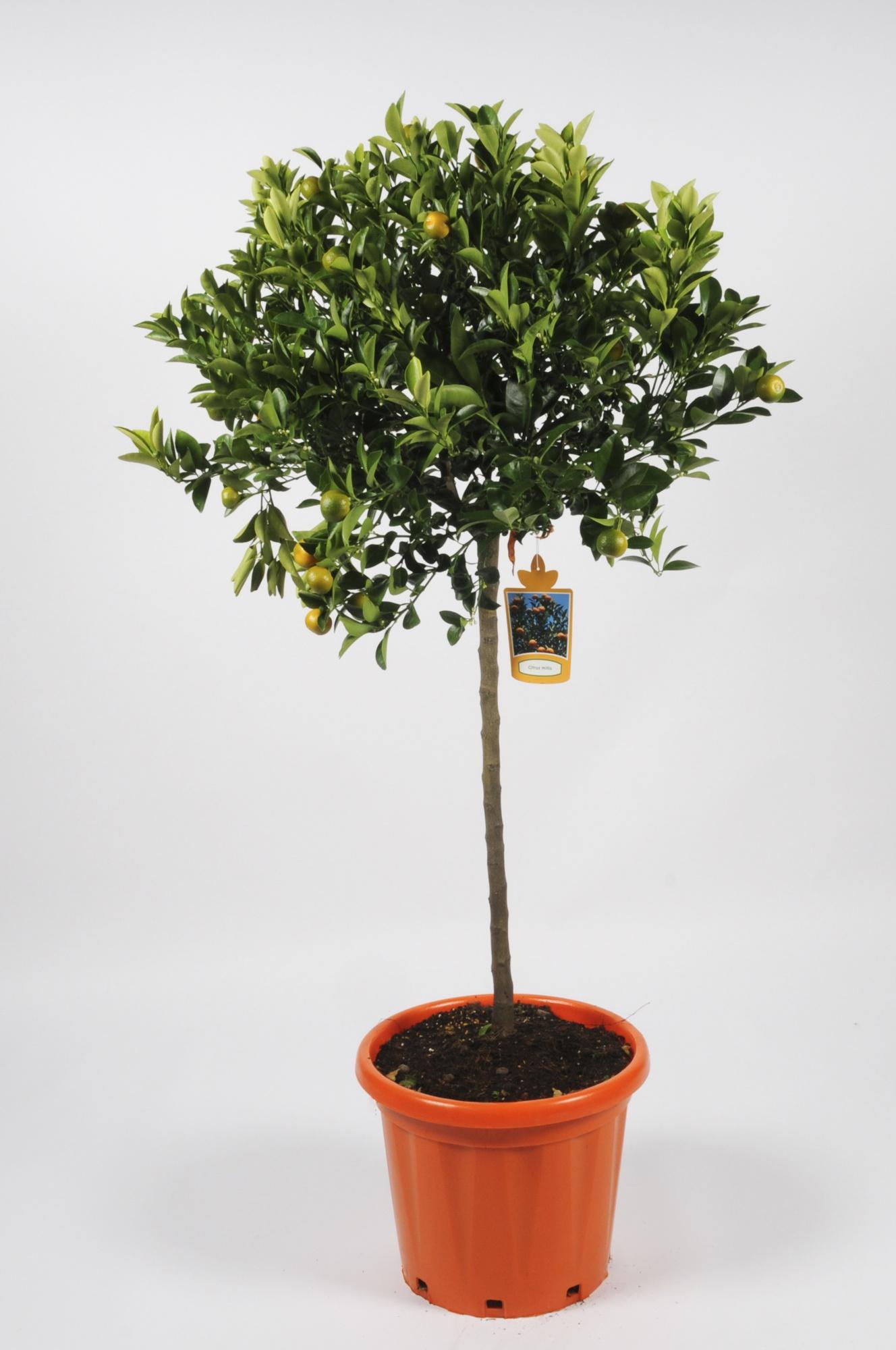 Citrus Calamondin 160cm x D35