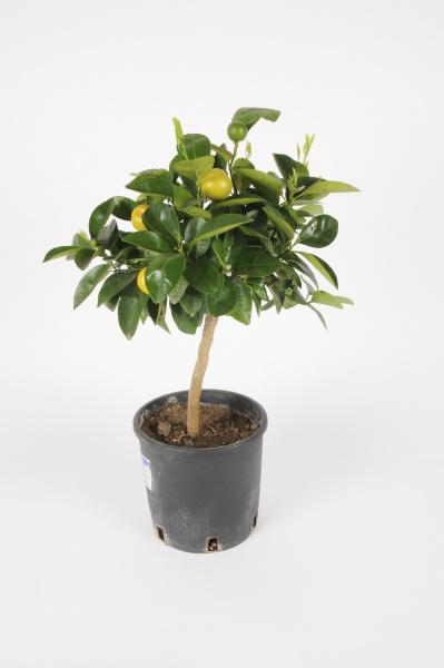 Citrus Calamondin 40/50cm x D15