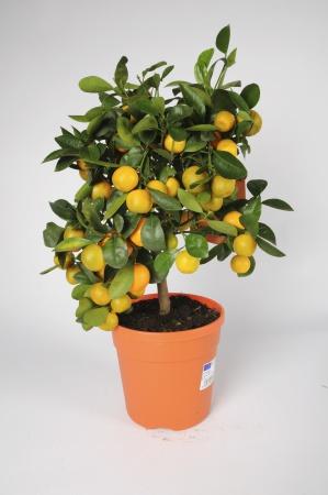 Citrus Calamondin 60/70cm x D18