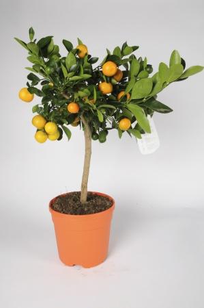 Citrus Calamondin 70/90cm x D20