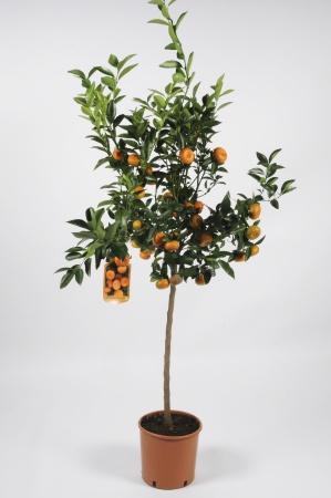 Citrus Clementine 100/120cm x D24