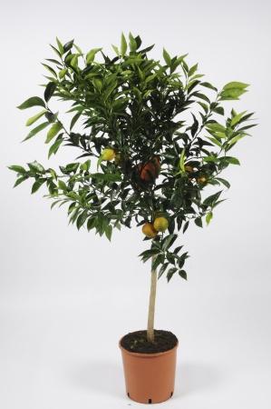 Citrus Clementine 130cm x D28